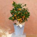 Naranjito en cubo de zinc